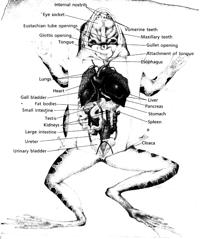 Picture  Labeled Respiratory System Of A Frog